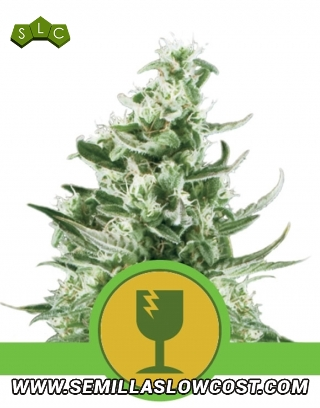 Royal Critical Autofloreciente Royal Queen Seeds