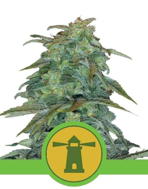 Royal Haze Autofloreciente Royal Queen Seeds