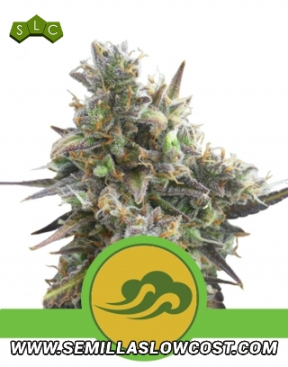Royal Bluematic Autofloreciente Royal Queen Seeds