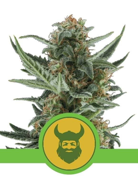 Royal Dwarf Autofloreciente Royal Queen Seeds
