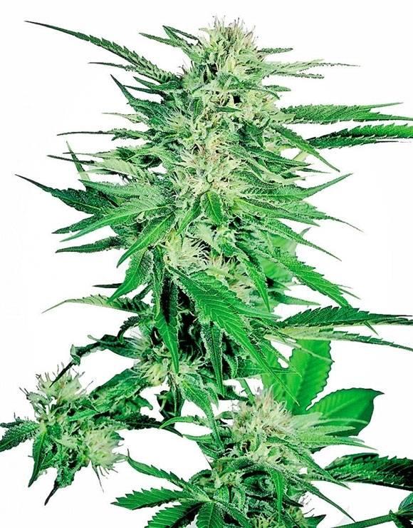 Big Bud Feminizada Sensi Seeds