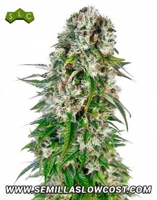 Big Bud Autofloreciente Sensi Seeds