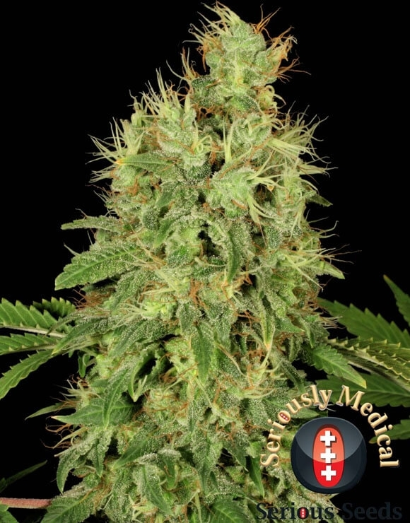 Chronic CBD Feminizada Serious Seeds