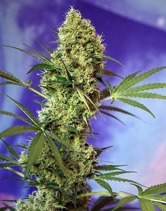 Big Devil Autofloreciente Sweet Seeds