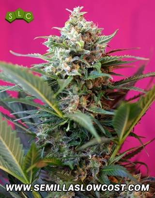 Big Devil XL Autofloreciente Sweet Seeds