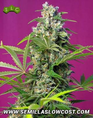 Gorilla Girl Feminizada Sweet Seeds
