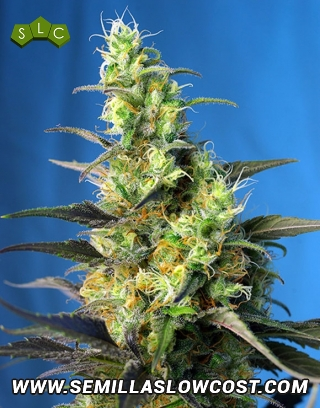 Ice Cool CBD Feminizada Sweet Seeds