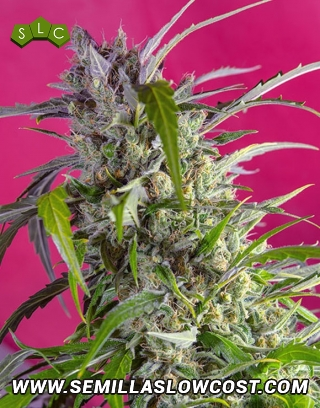 Crystal Candy Autofloreciente Sweet Seeds