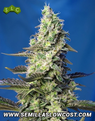Green Poison XL Autofloreciente Sweet Seeds