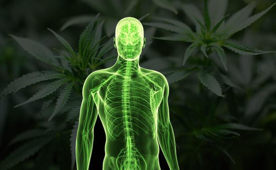 marihuana en el organismo
