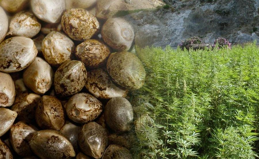 Semillas de marihuana en exterior