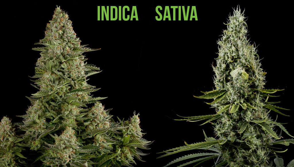 Indica y Sativa
