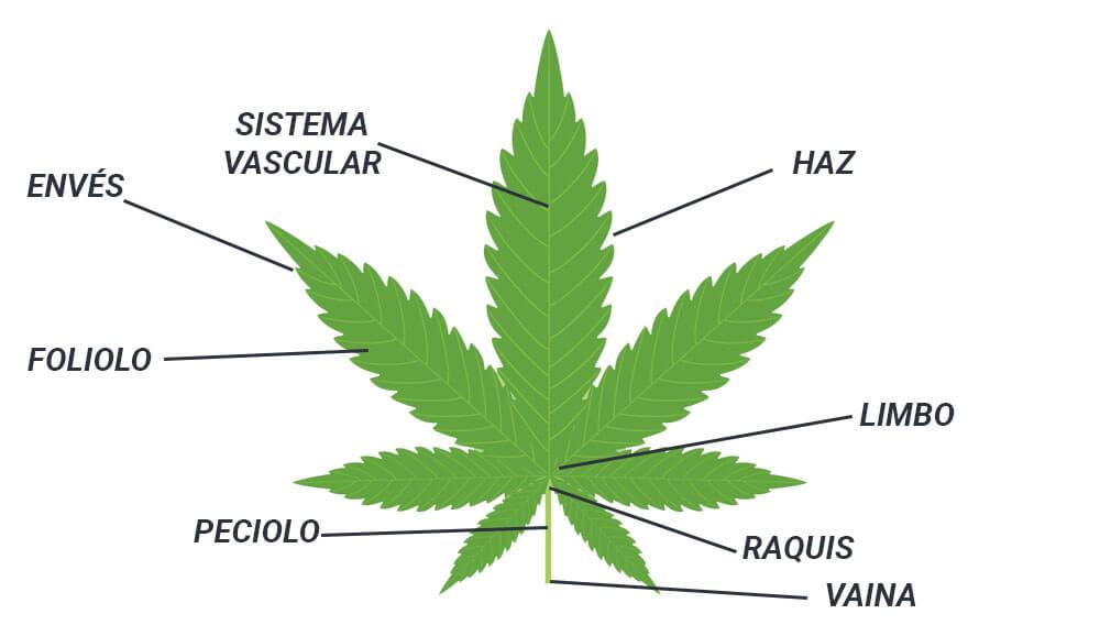 partes hoja marihuana