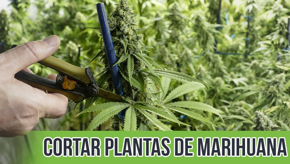 Cortar plantas de marihuana
