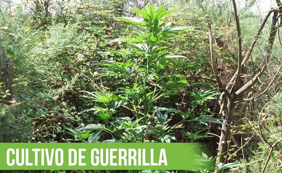 cultivo guerrilla