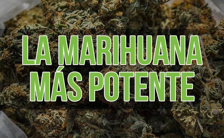 marihuana más potente