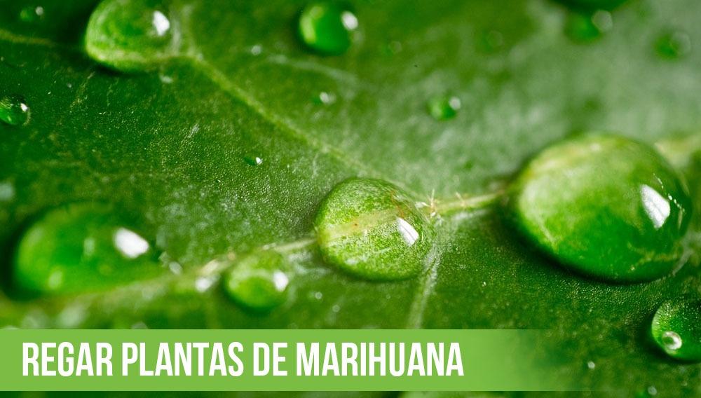 regar plantas de marihuana