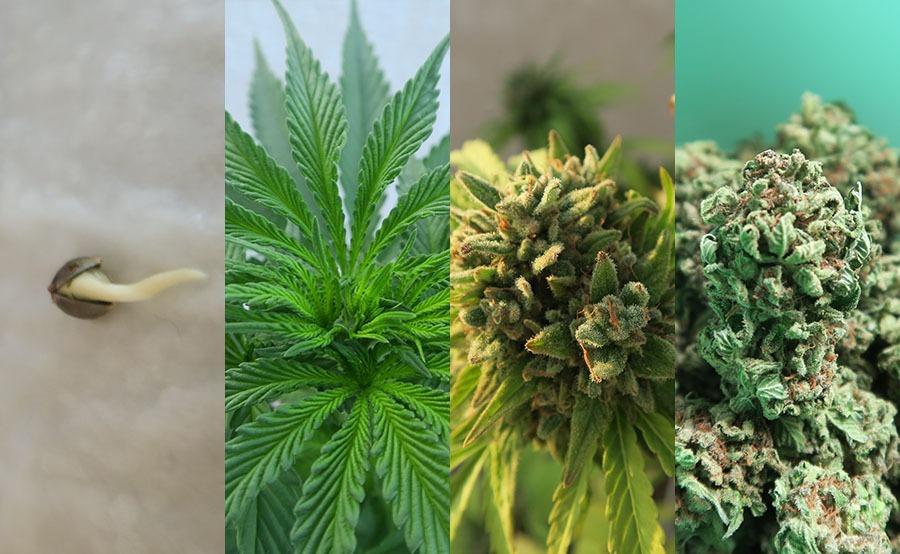tiempo cultivar marihuana