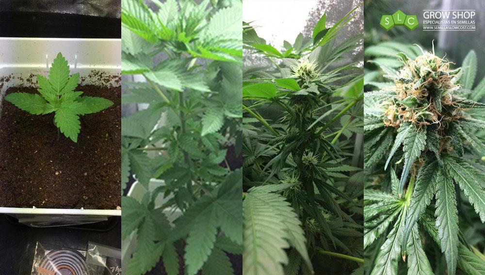 crecimiento planta marihuana