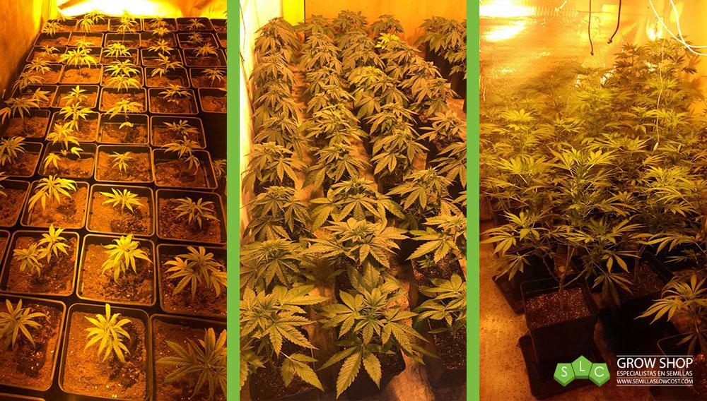 plantas marihuana interior