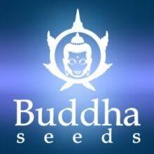Buddha Seeds Feminizadas