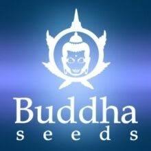 Buddha Seeds Autoflorecientes