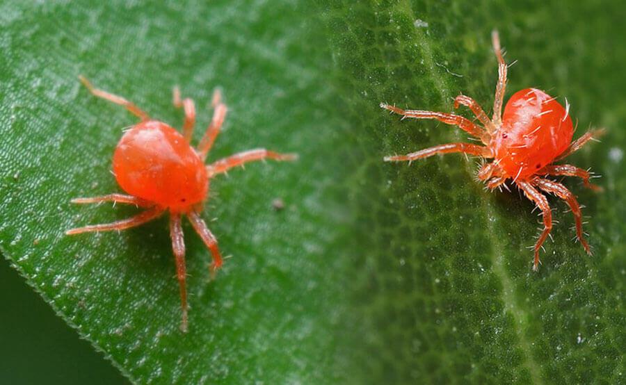 Araña roja