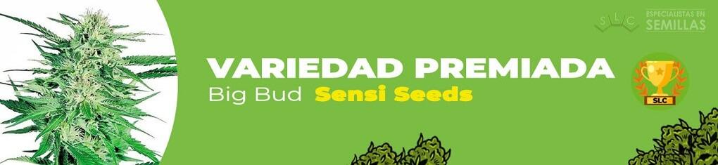 Big bud de sensi seeds