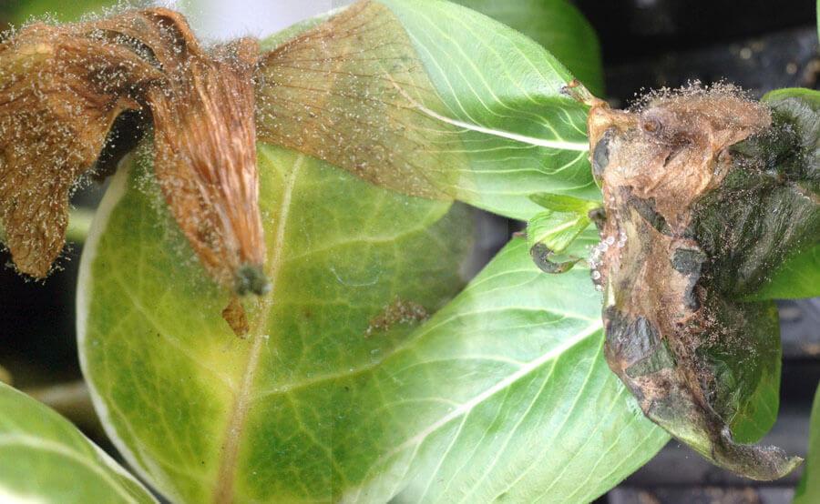 Botrytis en hojas